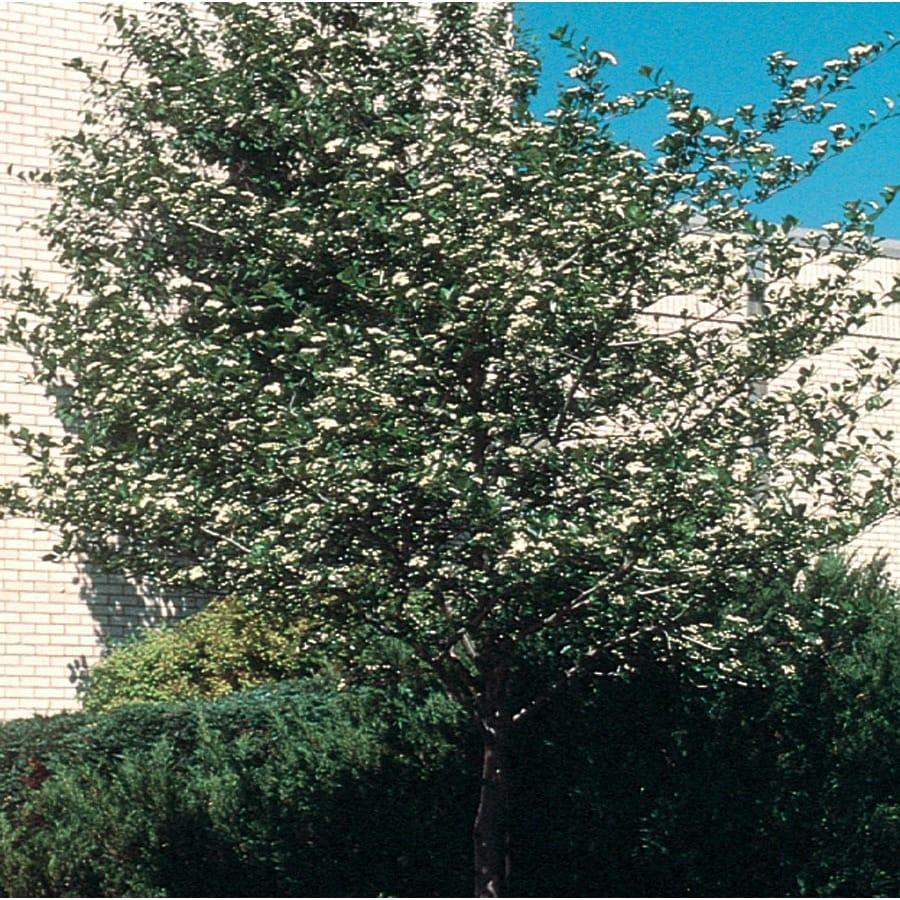 12.7-Gallon Crusader Hawthorn Flowering Tree (L1113)