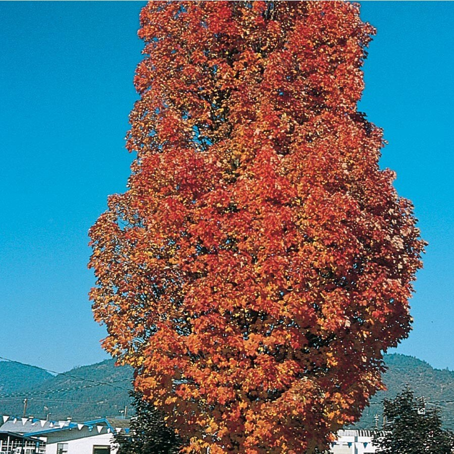 12.7-Gallon Armstrong Red Maple Shade Tree (LW03548)