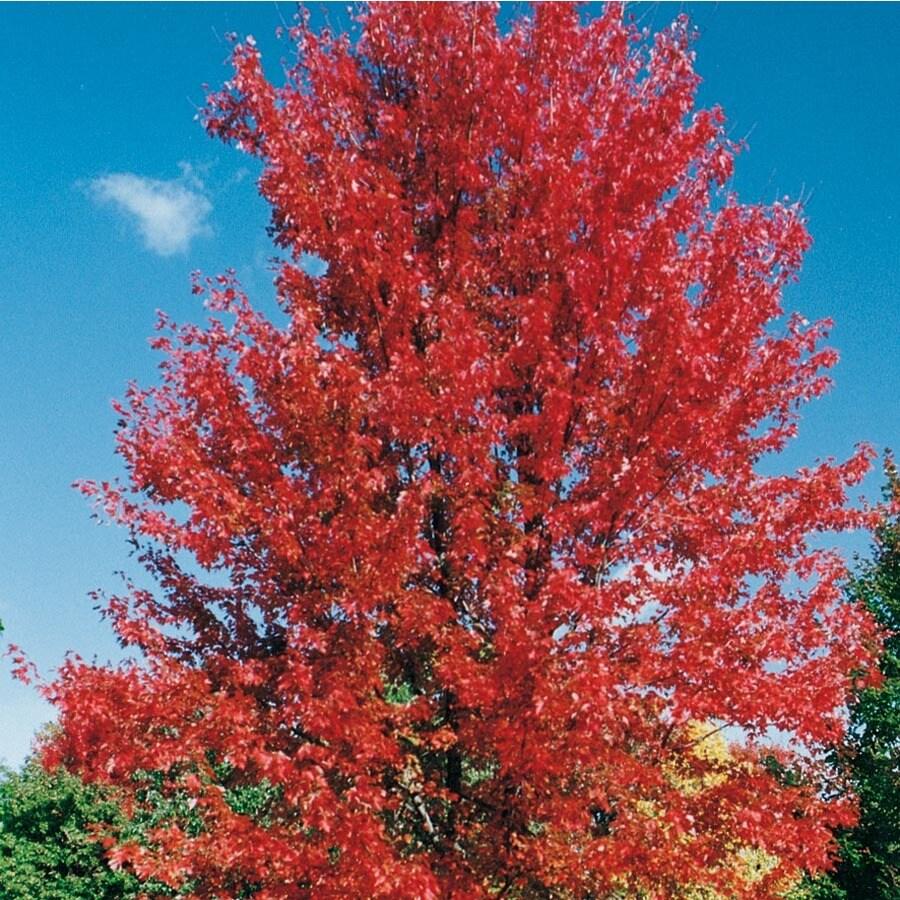 12.7-Gallon Marmo Maple Shade Tree (L27578)