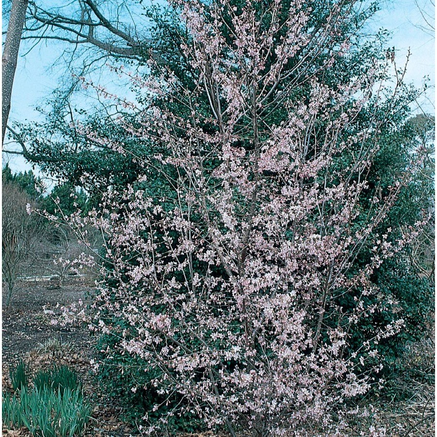 12.7-Gallon Okame Flowering Cherry Flowering Tree (L7100)