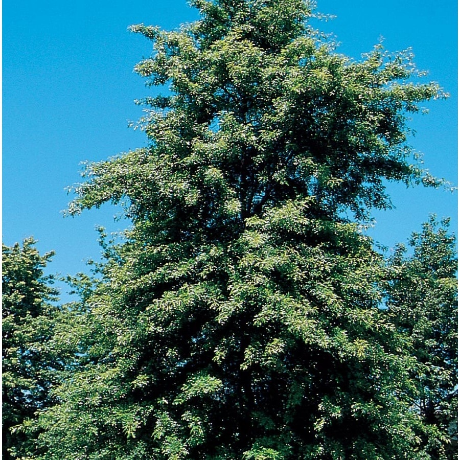 12.7-Gallon Scarlet Oak Shade Tree (L1142)