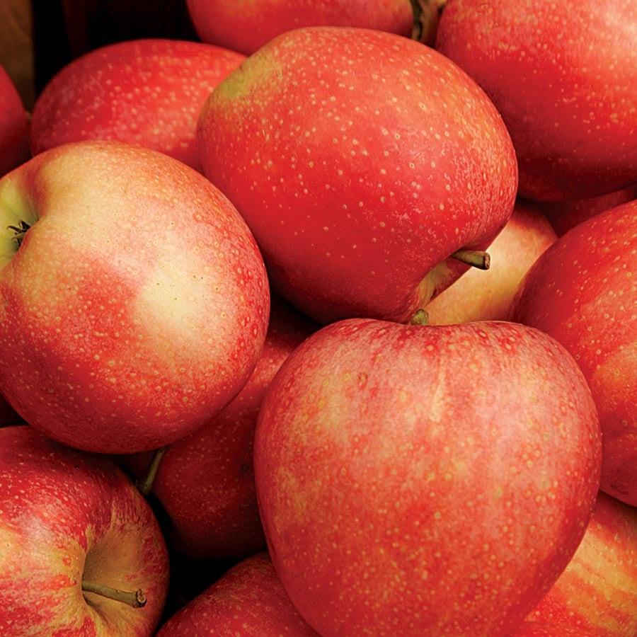 3.64-Gallon Honeycrisp Apple Tree (L11893)