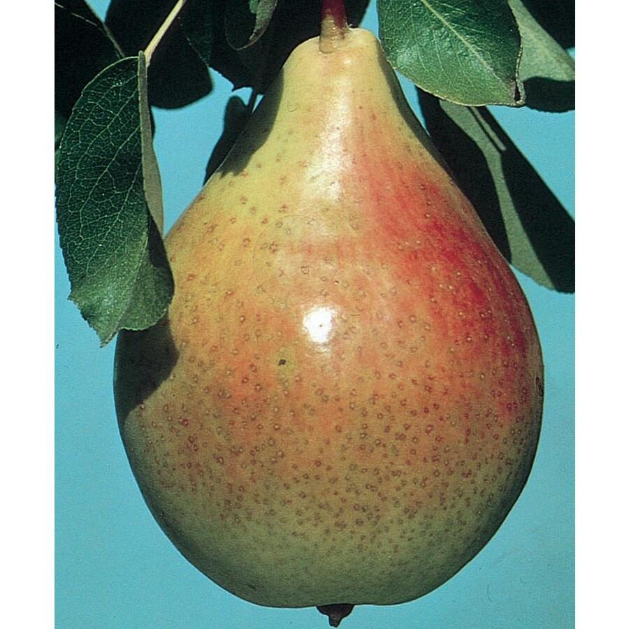 3.64-Gallon Clapp's Favorite Pear Tree (L6896)