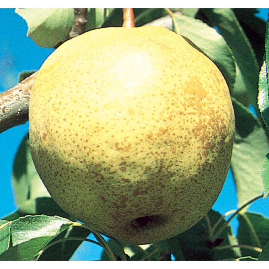 3.64-Gallon Luscious Pear Tree (L5405)