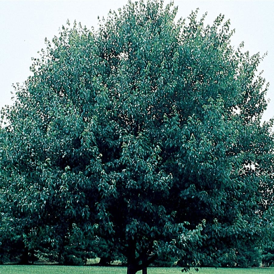 3.64-Gallon Red Sunset Maple Shade Tree (L1129)