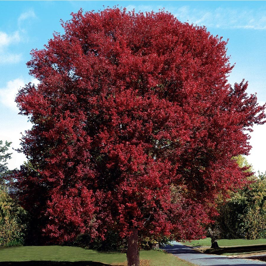 12.33-Gallon Burgundy Belle Maple Shade Tree (L2079)