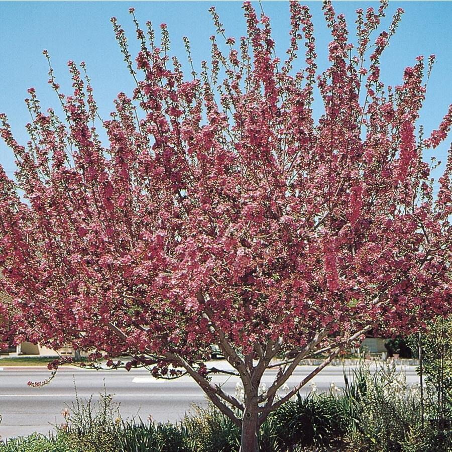 12.33-Gallon Radiant Crabapple Flowering Tree (L3584)