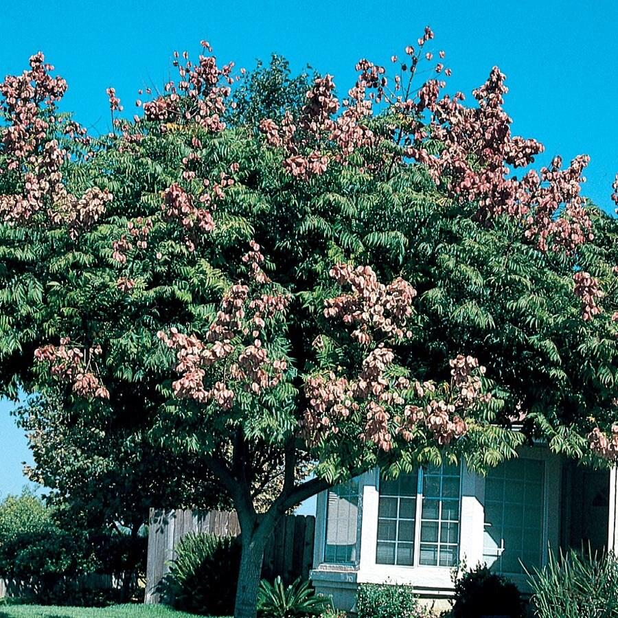 7.28-Gallon Golden Raintree Feature Tree (L1159)