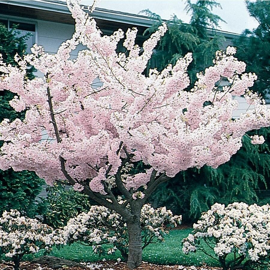 7.28-Gallon Yoshino Flowering Cherry Flowering Tree (L3234)