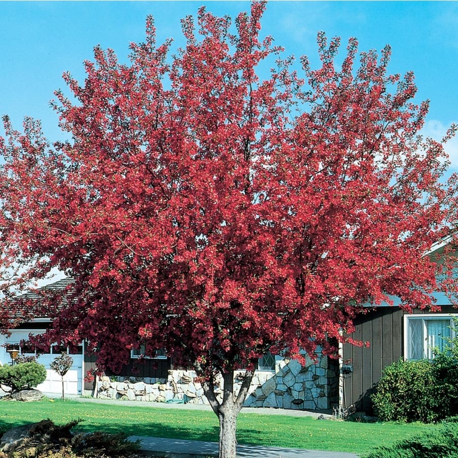 1X 4-5FT LARGE MALUS PRAIRIE FIRE PURPLE LEAF FLOWERING CRAB APPLE TREE