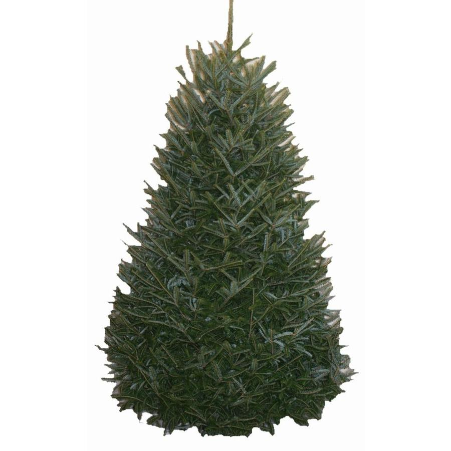 9-10-ft Fresh Fraser Fir Christmas Tree