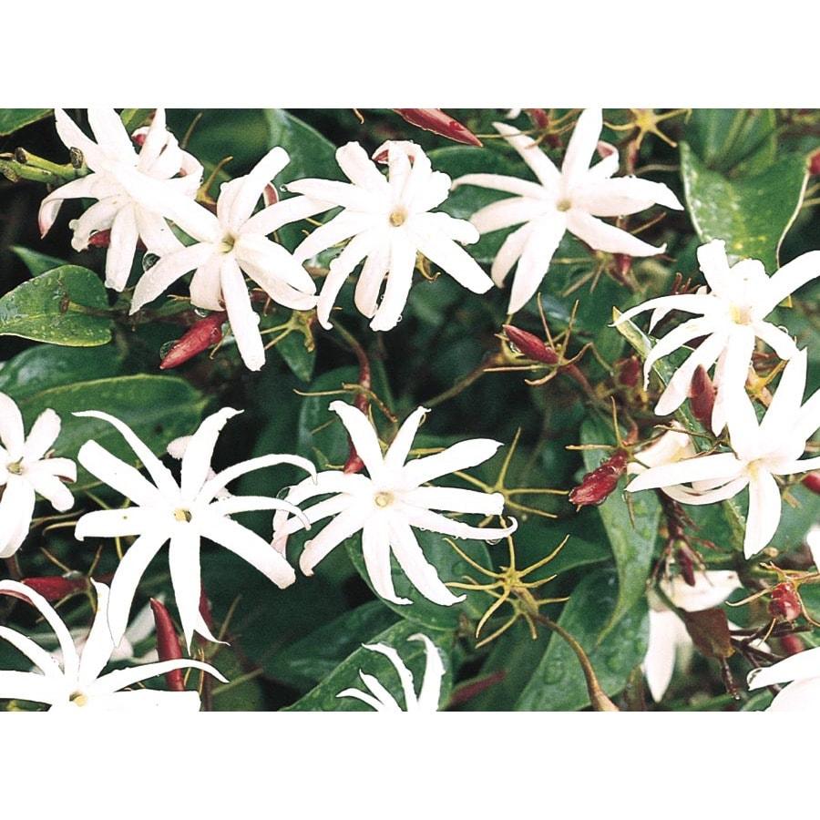 3.61-Gallon Star Jasmine (L8609)