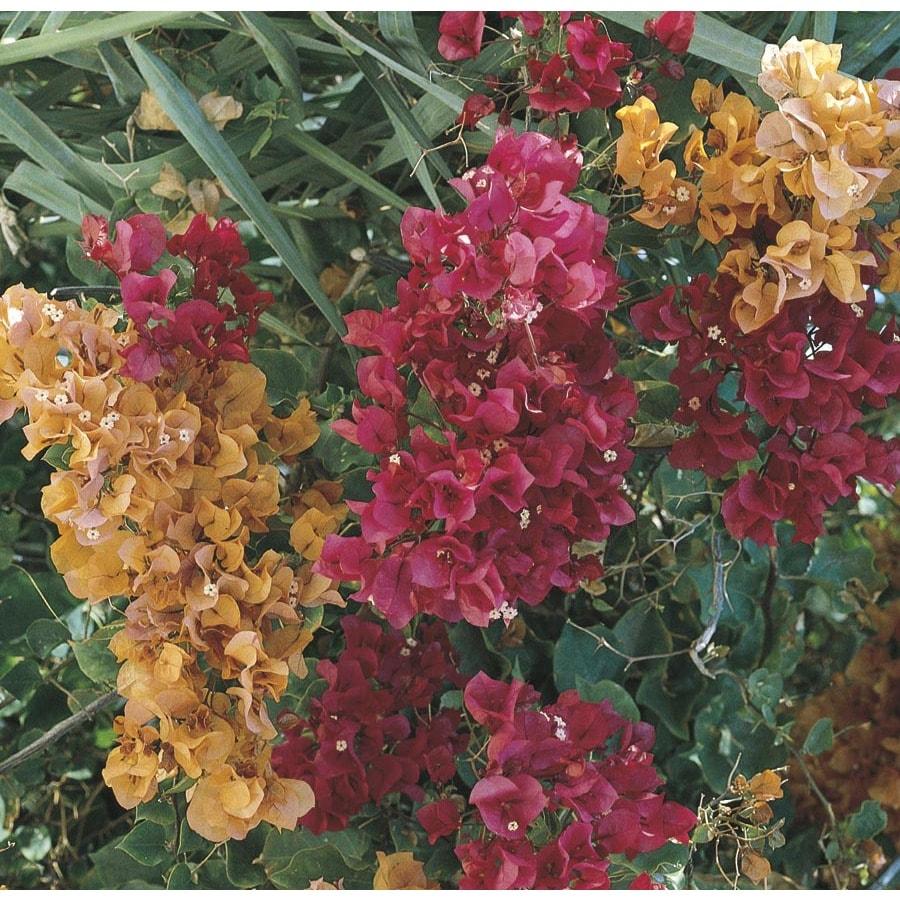 2.33-Gallon Mixed Hybrid Bougainvillea Flowering Shrub (L5710)