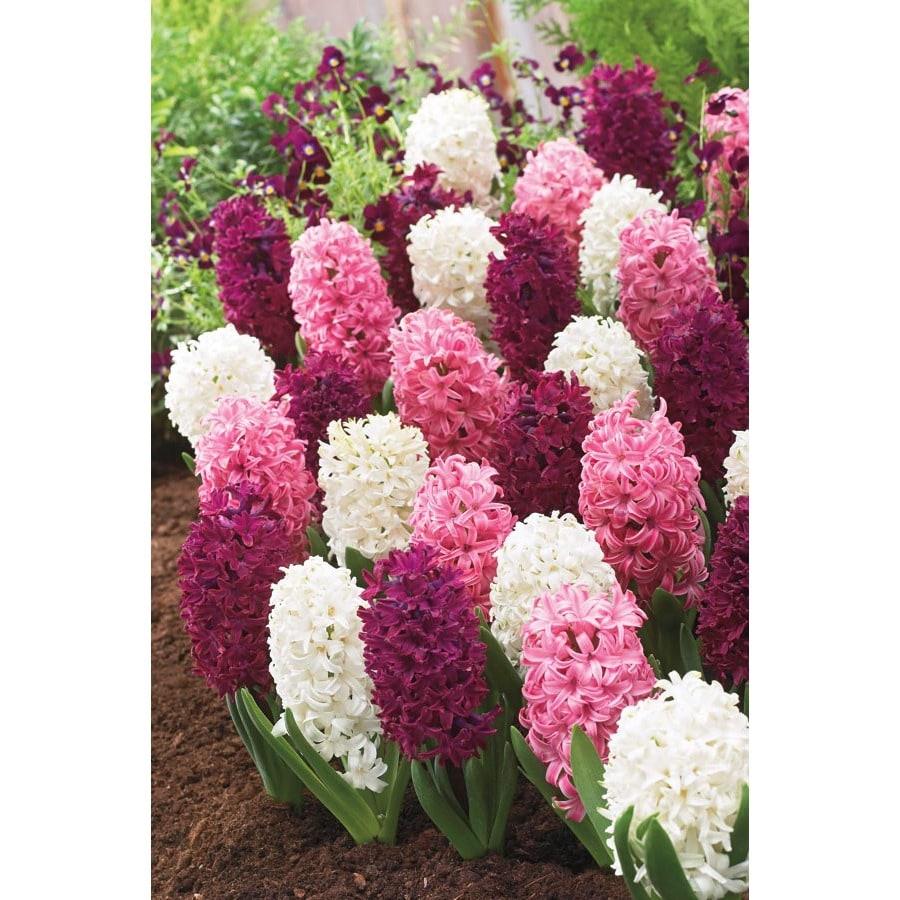 Garden State Bulb 8-Pack Pink Blend Hyacinth Bulbs
