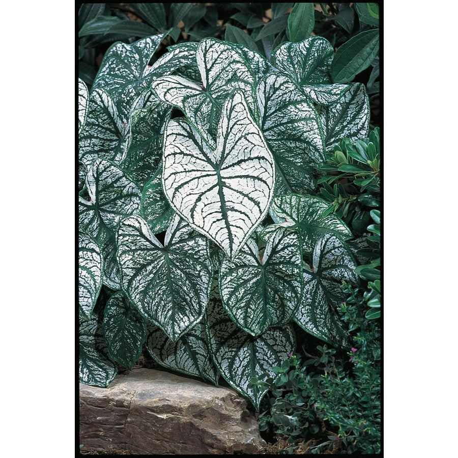 Garden State Bulb 5-Pack Shades Of Innocence Caladium (L21387)