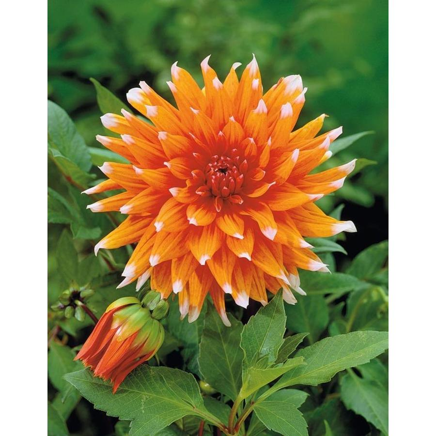Garden State Bulb 4-pack Color Spectacle Dahlia (Lb21793)