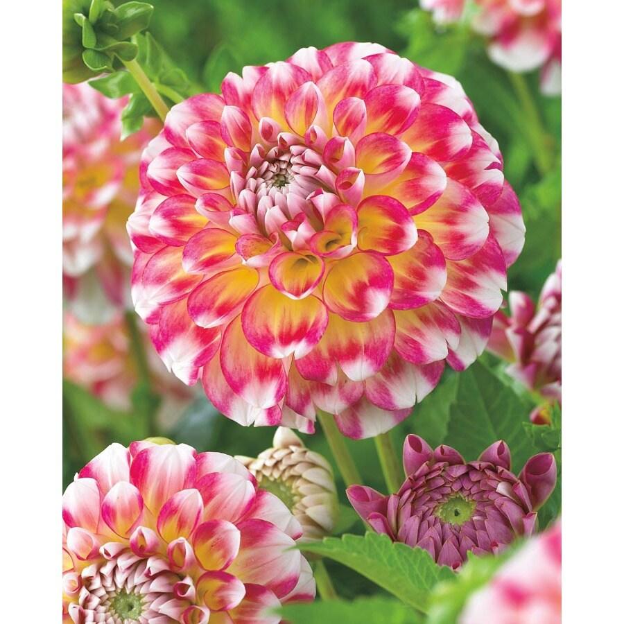 Garden State Bulb 2-Pack Hawaii Dahlia (LB21798)