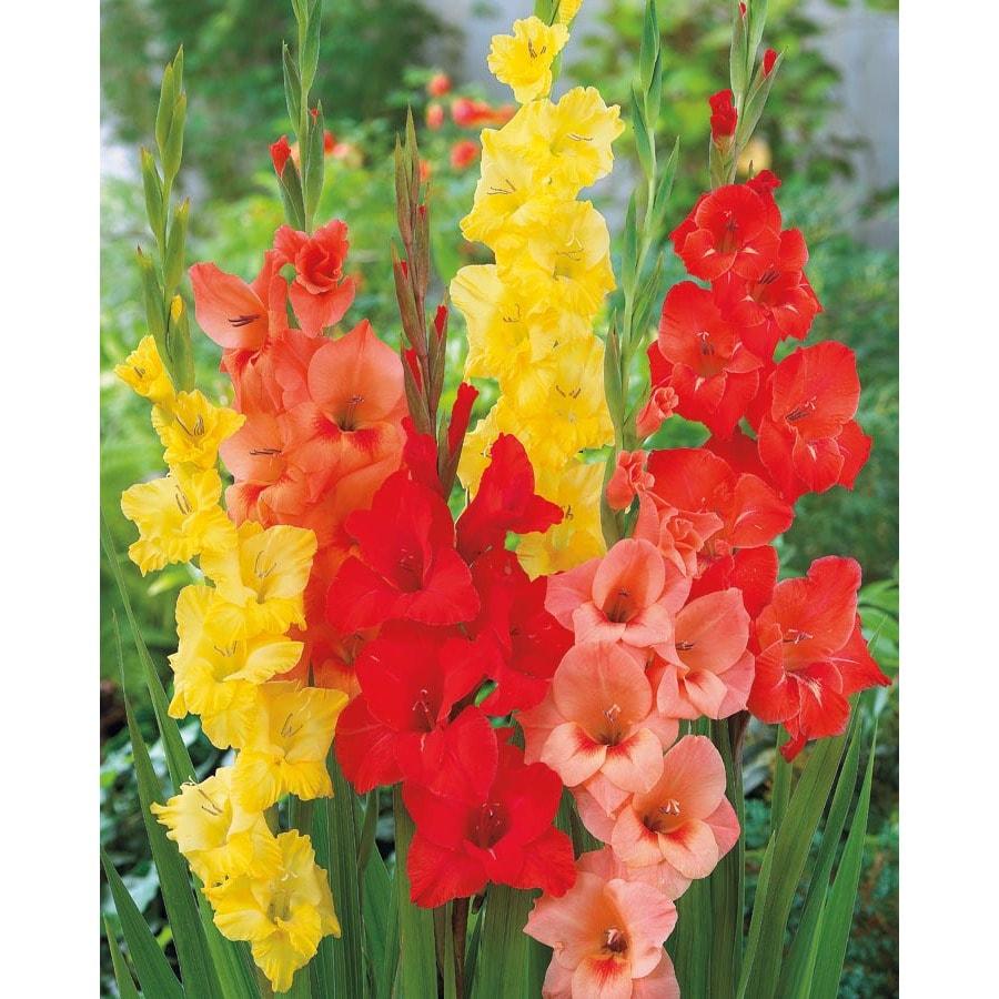 Garden State Bulb 20-Pack Mixed Tropical Sunrise Gladiolus Bulbs
