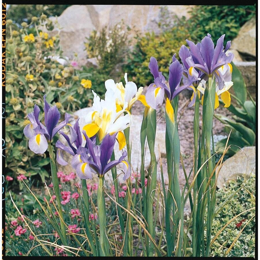 Garden State Bulb 50 Pack Dutch Iris Mix (L5801)