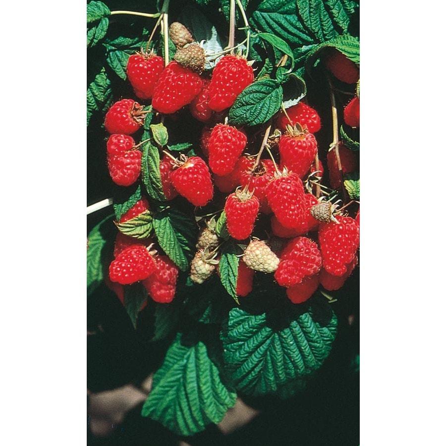 Garden State Bulb 1-Pack Brandywine Raspberry (LB9498)