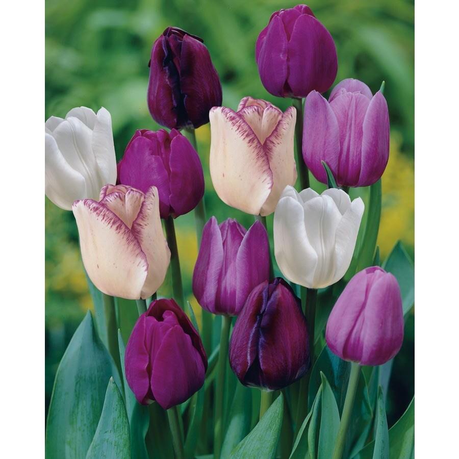Garden State Bulb 35-Pack Purple Blend Tulip Bulbs