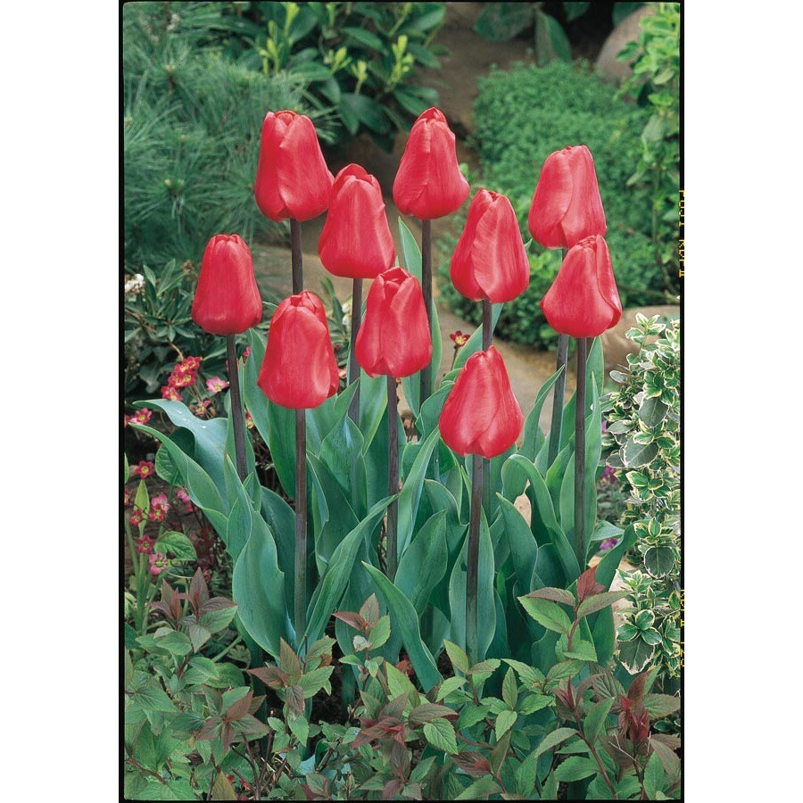 Garden State Bulb 18-Pack Red Emperor Tulip Bulbs