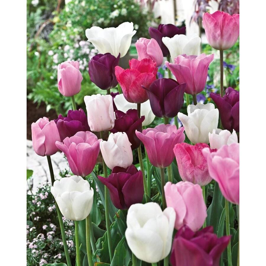 Garden State Bulb 15-Pack Sorbet Blend Tulip Bulbs