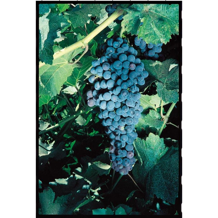 Garden State Bulb Mars Seedless Grape (L1319)