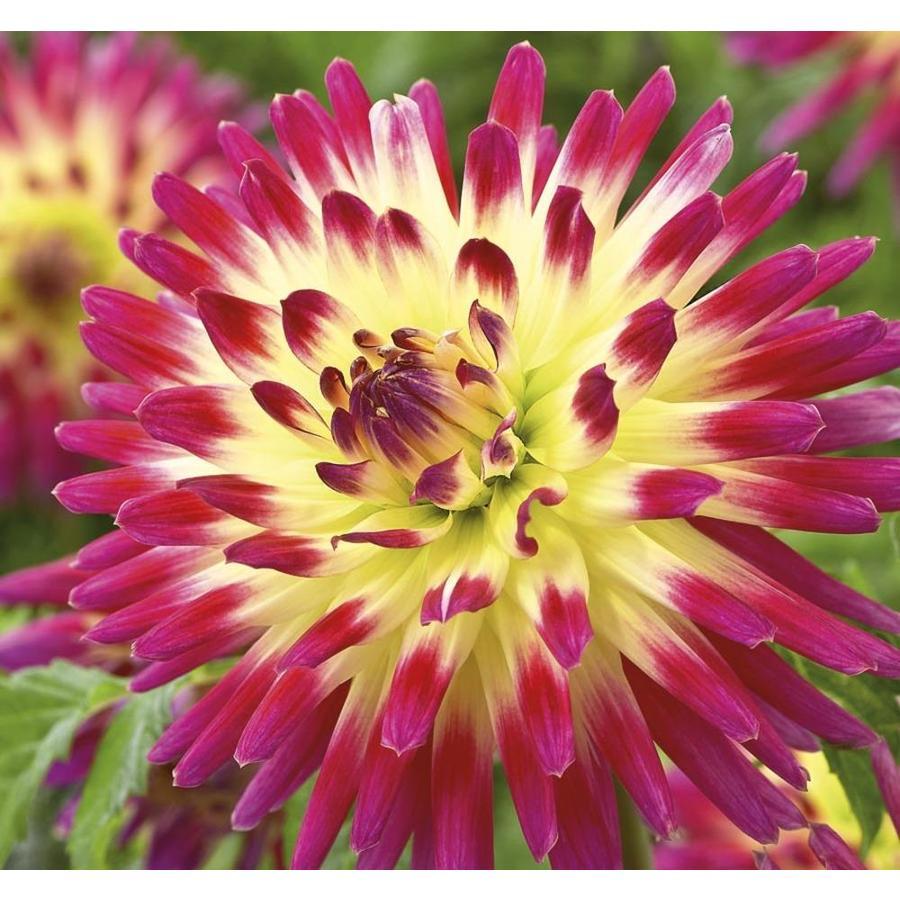 Garden State Bulb Tahiti Sunrise Dahlia (Lb22437)