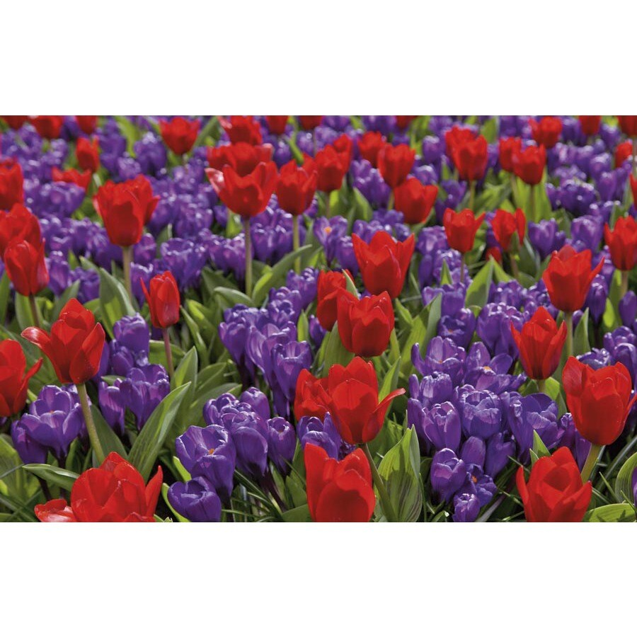 Garden State Bulb 50-Pack Tulip and Crocus Collection Bulbs