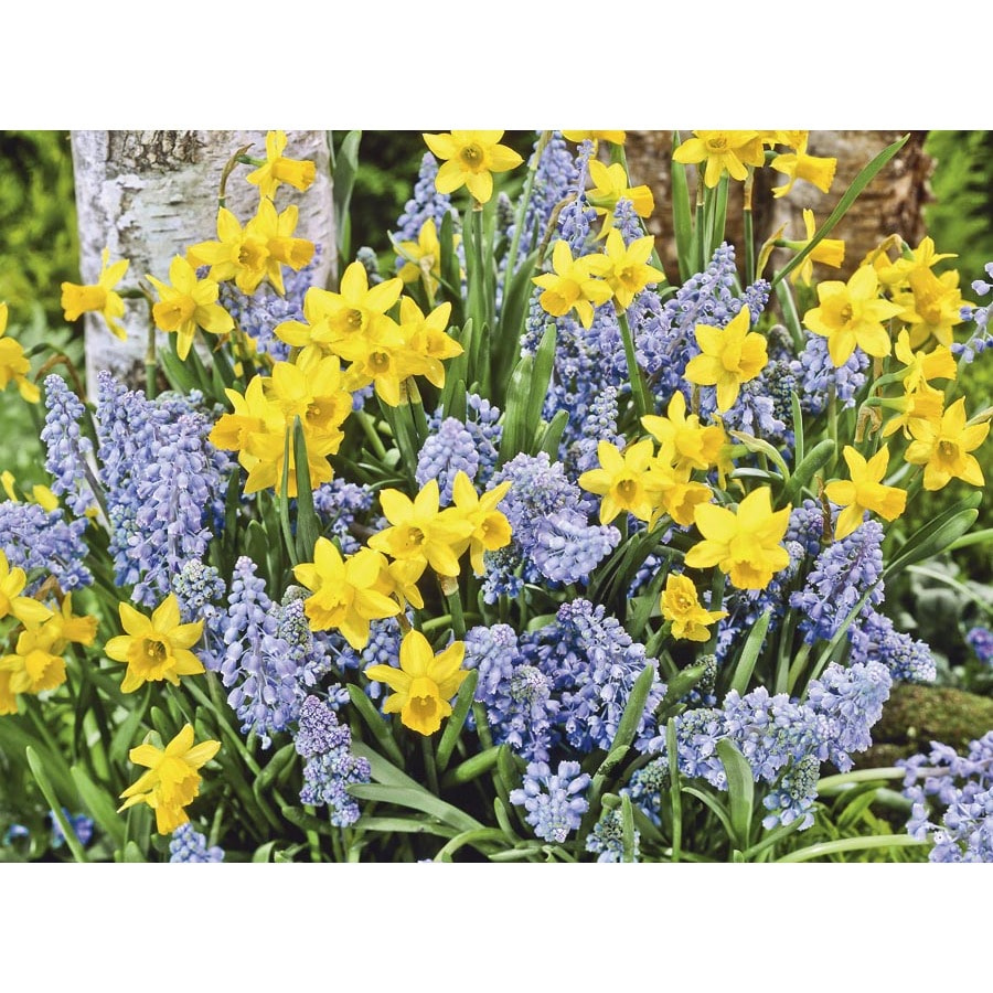 Garden State Bulb 50-Pack Spring Delight Collection Bulbs