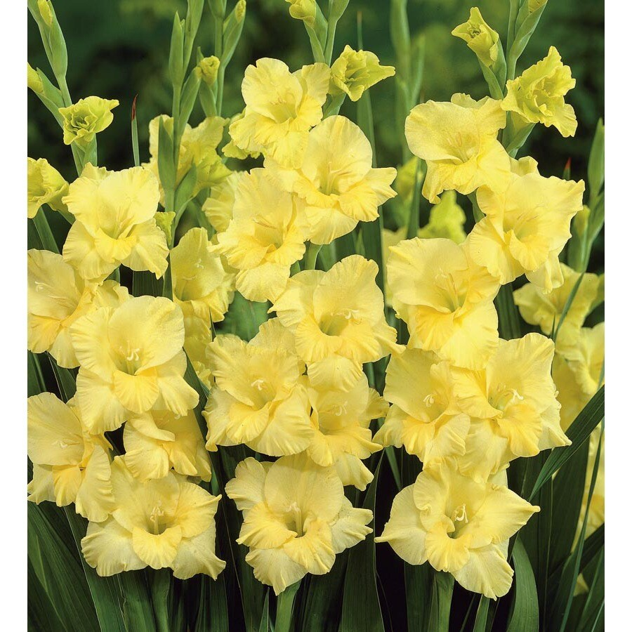 Garden State Bulb 20-Count Eloise Gladiolus Bulbs