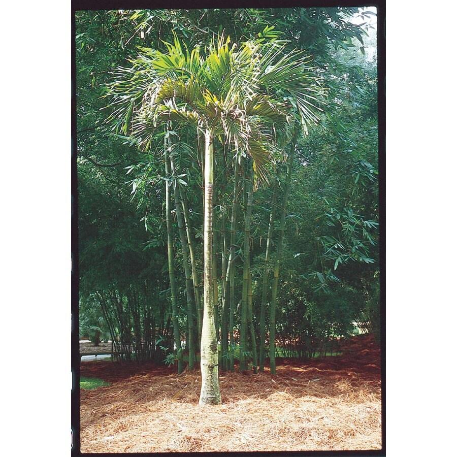 8-ft Adonidia Palm (L14490)
