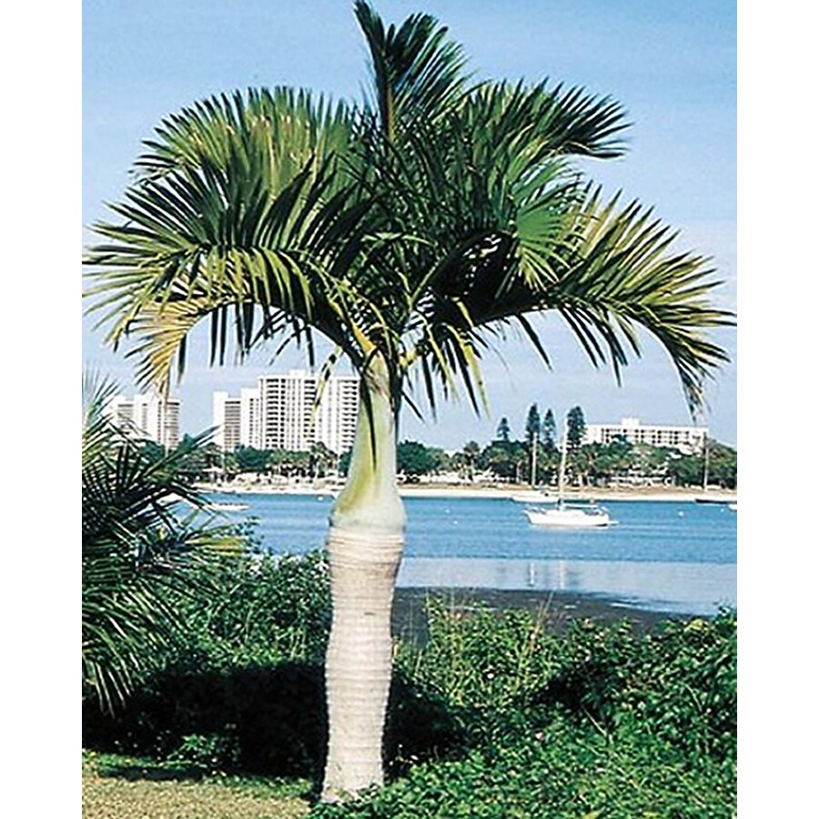 4.5-Gallon Spindle Palm (L11094)