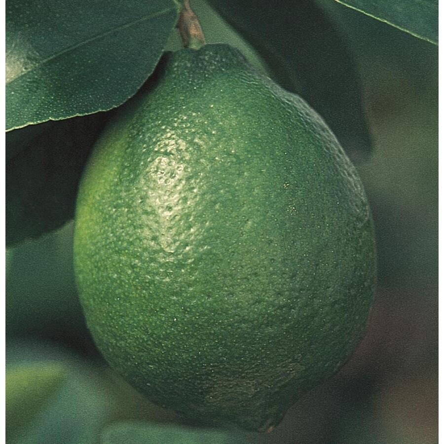 3.25-Gallon Lime Tree (L9074)