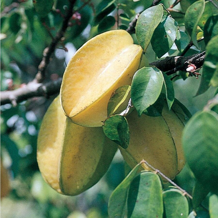 10.25-Gallon Carambola Tree (L7600)