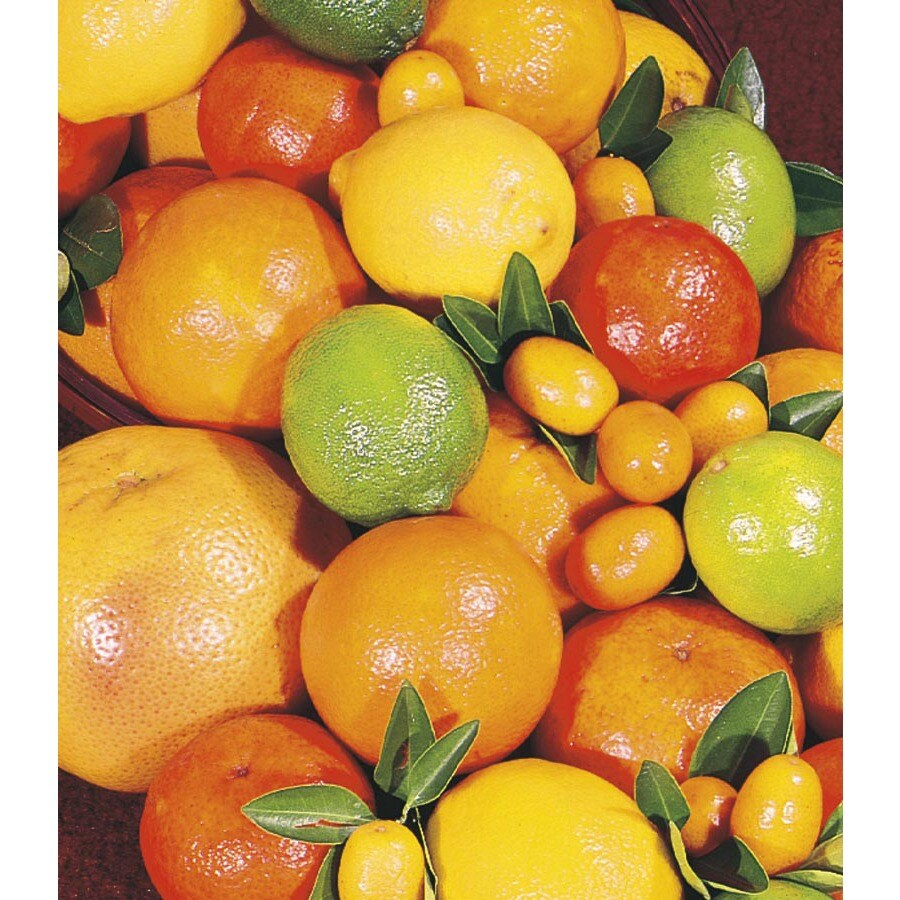 2.3-Gallon Citrus Cocktail Tree (L6805)