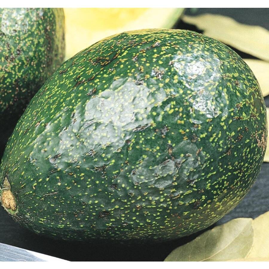 13-Gallon Avocado Tree (L5894)