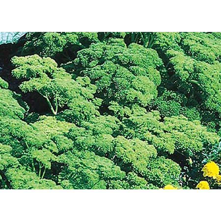 Buzzy Parsley Plant (L6065)