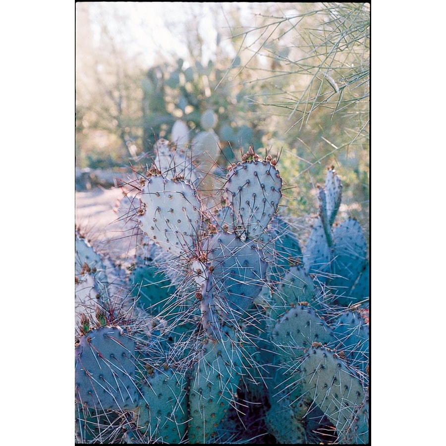 1.72-Gallon Mixed Prickly Pear Cactus Accent Shrub (L11756)