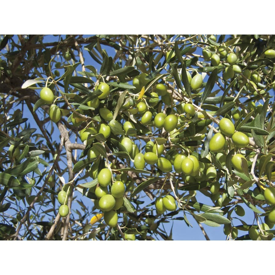 1.72-Gallon Frantoio Olive Tree (L23470)