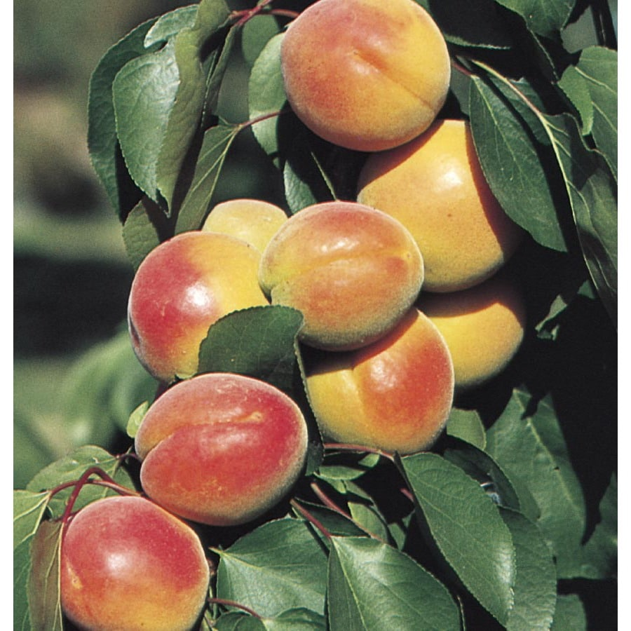 6.24-Gallon 3 In 1 Apricot Tree (L25888)