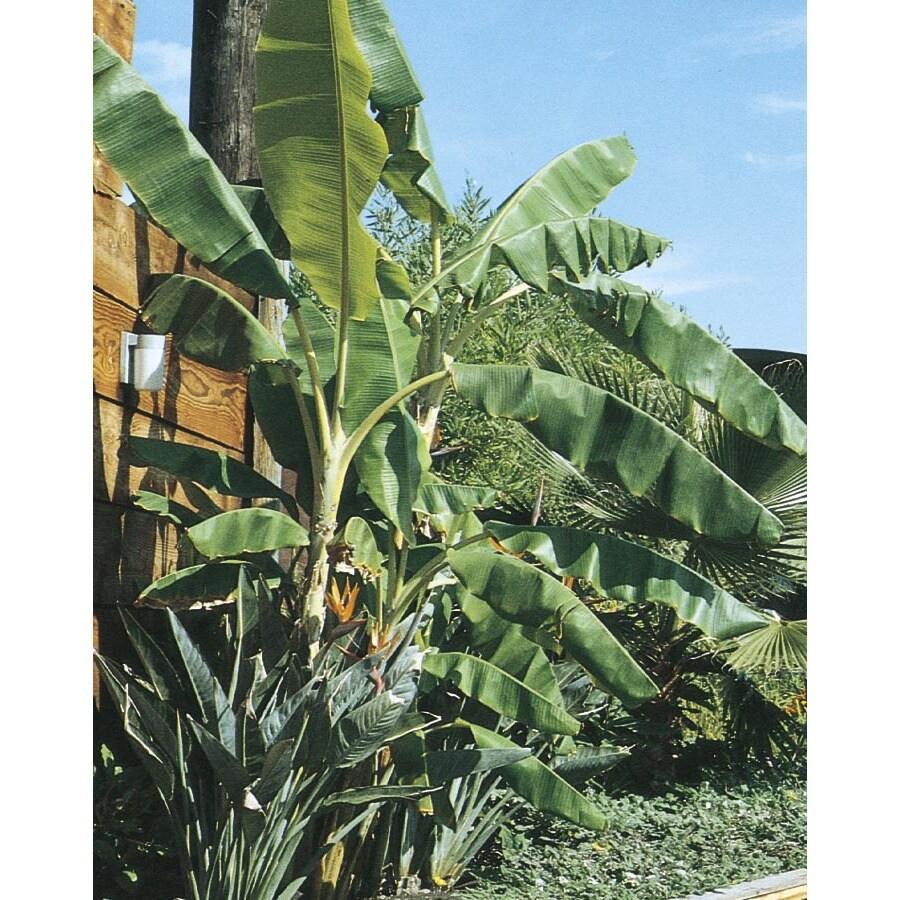3.4-Gallon Banana Small Fruit (L4349)