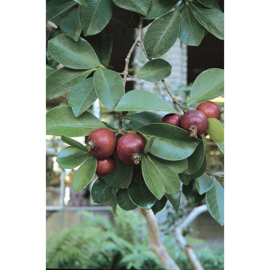 3.4-Gallon Strawberry Guava Small Fruit (L22751)