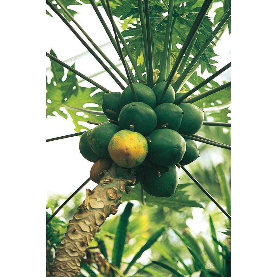 1.5-Gallon Papaya Tree (L14496)