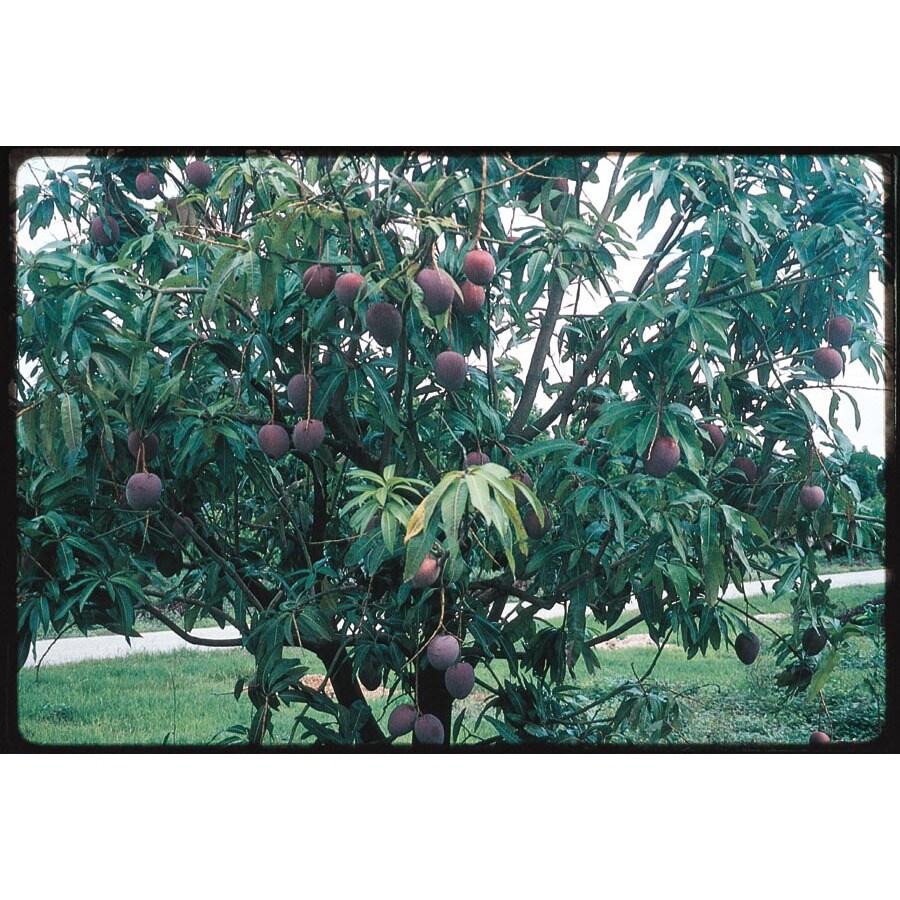 3.4-Gallon Mango Tree (L7606)