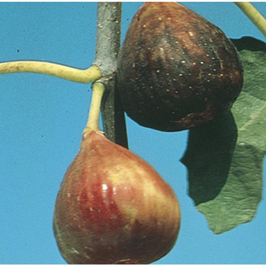 3.4-Gallon Fig Small Fruit (L5982)
