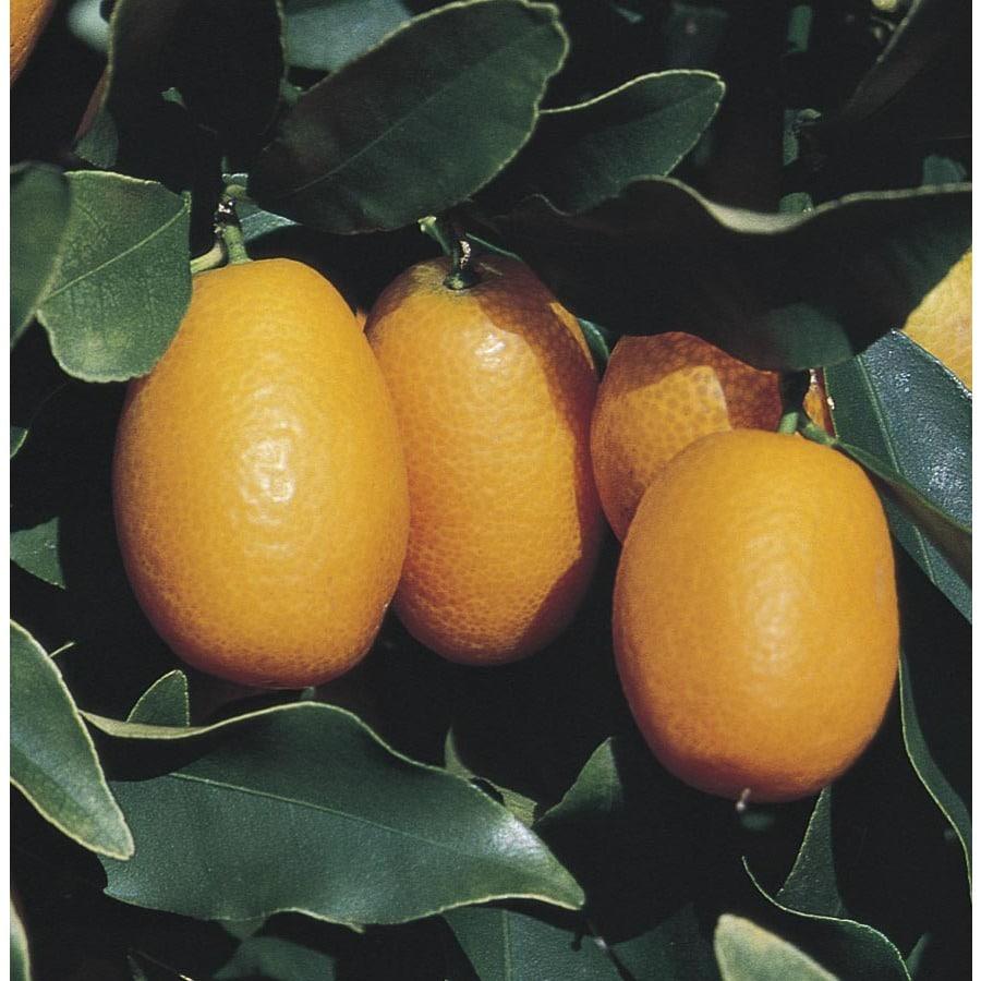 3.4-Gallon Semi-Dwarf Kumquat Tree (L6107)