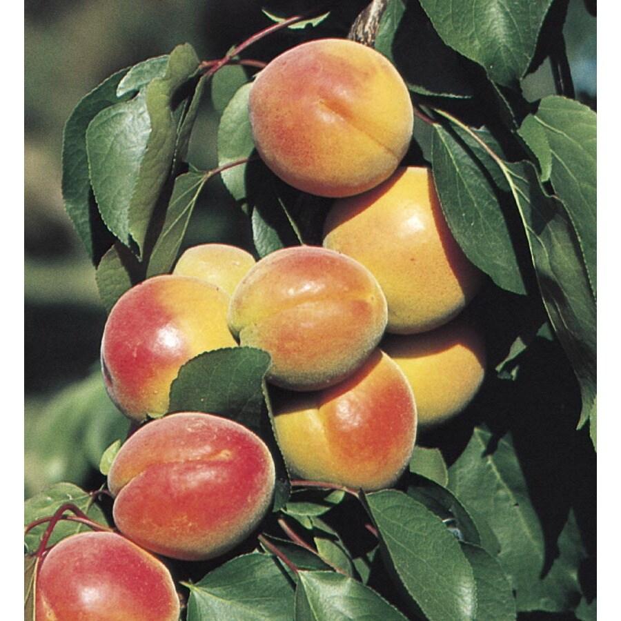 3.4-Gallon Apricot Tree (L7395)