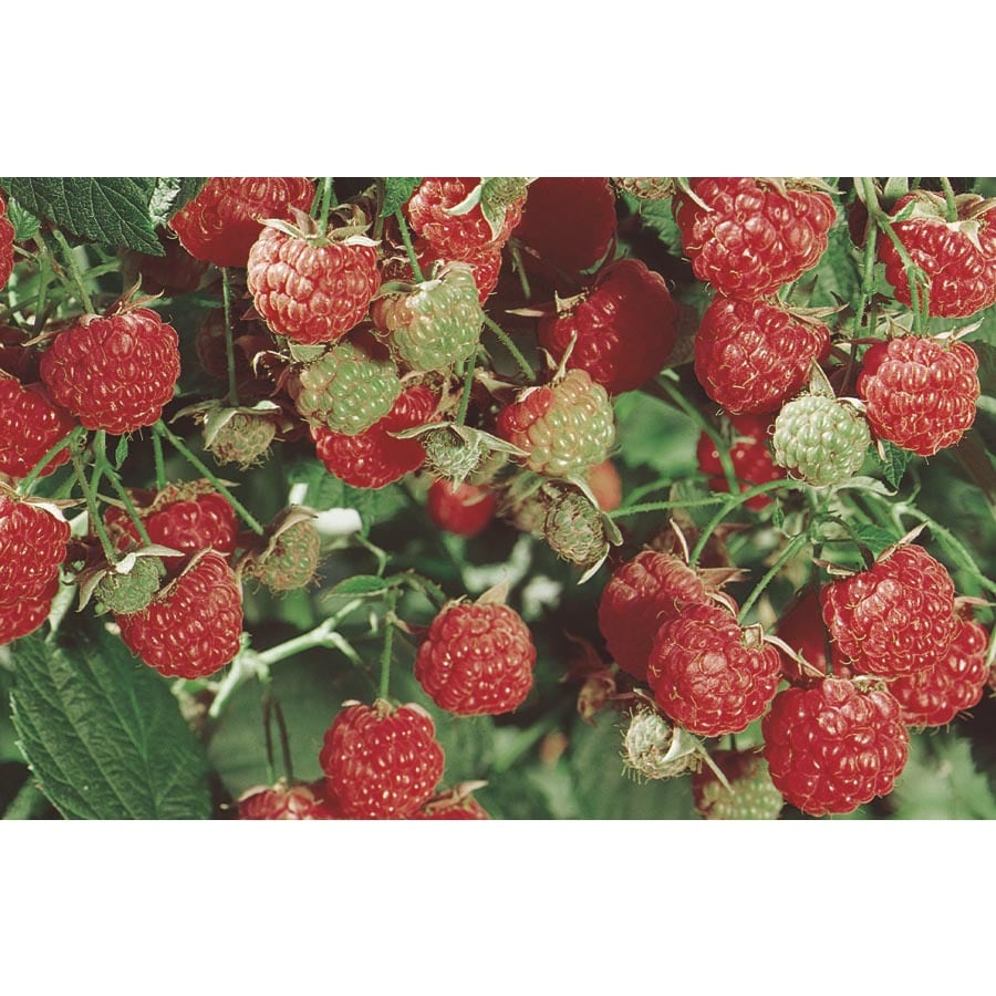 1.72-Gallon Raspberry Small Fruit (L5813)